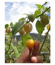 Golden Berry Plants (Nativas Organics Cultivar)
