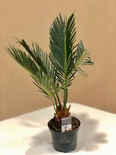 Pianta Cycas Revoluta Vaso 9cm