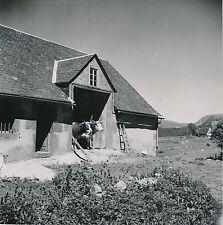 LES-PUYS c. 1950 - Vaches sortant de l'Étable Puy-de-Dôme  - DIV 5267