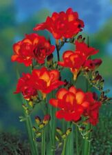 2 Bulbs African Freesia Terry red flower (not seeds) Perennial Beautiful Garden