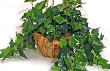 English Ivy – Hedera helix – 5 cuttings