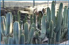 Peruvianus cuttings, local pickup only. PT#10