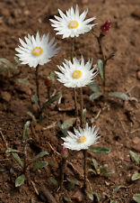 Argentipallium dealbatum - Silver Everlasting 10 seeds