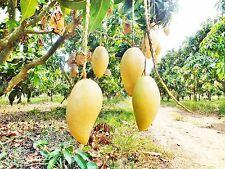 Thai Mango 2 Seeds Tropical Fruit Seeds, Namdokmai Very Sweet Nam-dok-mai