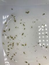 60+ Live Freshwater Gammarus Shrimp/Scuds - Live Fish Food + Free Duckweed
