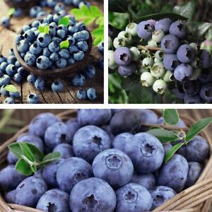 Blueberry Fruit Plants All Season Collection Garden Trees 3 x 9cm Pots T&M