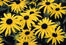 5 x Rudbeckia fulgida Goldsturm - mini plug plants - coneflower black eyed susan