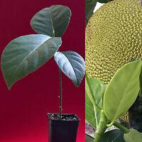"""Jackfruit Artocarpus Heterophyllus Jack Fruit Seedling Plant Tree 7-12"""""""