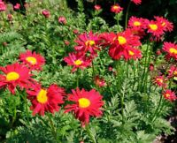 100 Seeds Pyrethrum Flowers Beautiful Rare Bonsai Plants in Home Garden Decor