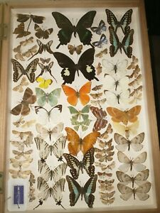 Real Butterflies and Moths - in genuine Watkins and Doncaster case