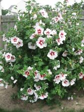 Hardy Hibiscus In Bushes Shrubs Hedging Plants For Sale Ebay