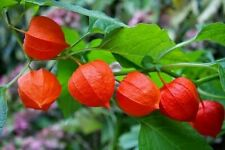 500+ Chinese Lantern FRESH Seeds Physalis Hardy Perennial Easy exotic plant BULK