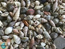 """300+ Philippine Mix Of Tiny Sea Shells -5/8"""" & Under - 1/3 Cup"""