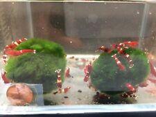 Red King Kong Shrimp - 4 pack