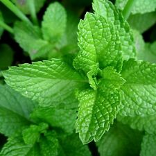 1,200 MINT SEEDS COMMON SPEARMINT Mentha spicata Great Herb for Tea/Cocktails