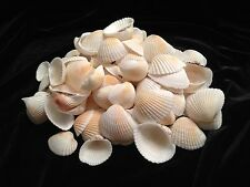 White and Orange Ark Seashells 1 Pound Bag 100-110 Shells
