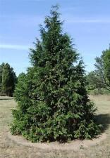 Lawson cypress, Chamaecyparis lawsoniana, Port Orford cedar 100 seeds