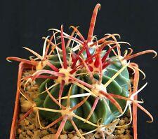 Ferocactus Latispinus Rubrispinus, rare barrel hook cactus exotic seed -20 SEEDS