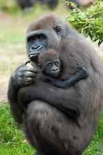 A Mother Gorilla Cradles Her Baby Great Ape Journal : 150 Page Lined.