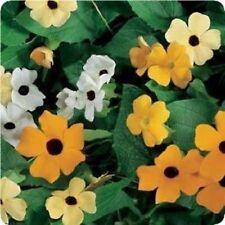 Blackeyed Susan Vine Flower Seeds - Bulk *