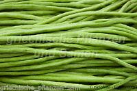 GREEN NOODLE Meterbohne 0,5 m lang 20 Samen historische Bohnen Sorte Bohne