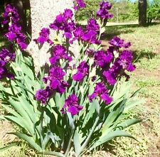 1 Purple BIG Hybrid Bearded Irises, rhizomes, iris bulbs, flowering bulb plants