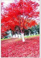 Red Maple Tree Seeds 30pcs/bag Mini Bonsai Tree Seed Ornamental Plant For Decor