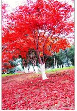 30pcs/Bag Japanese Maple Red Mini Tree Perennial Seeds DIY Plant Home Decor!