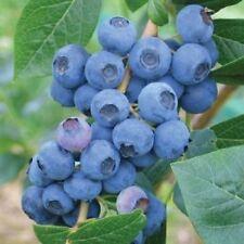 Blueberry Earliblue 9cm Pot 15cm - 20cm Self Pollinating Edible Garden Plant
