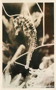 1940s Amusement Sea Horse Marineland Florida RPPC Real Photo postcard 3314