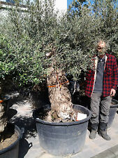 Olivenbaum  Olea Europea Stammumfang  ca 98cm Orginalfoto