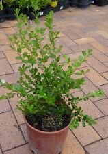 Plants Buxus 200mm pot size 5  pots for $35-00  Gr8 for Hedging