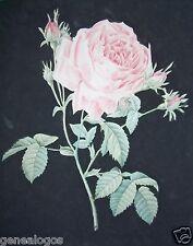 PIERRE-JOSEPH REDOUTE 1759-1840 LE RAPHAEL DES FLEURS GRAVURE LA ROSE 2