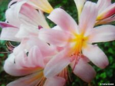 5 Bareroot Pink Spider Lily/ Surprise Lily/ Naked Lady Lily/ Resurrection Lily/