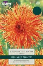 Dahlia Tuber Semi-Cactus 'Reijmans Firecracker' Quality Bulbs & Tubers