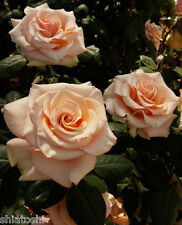 """Live Rose """"Marilyn Monroe""""  6 inch height grafted live plant, S-1102"""