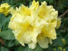 """Rhododendron Hotei - Mature Plant 24"""" to 30"""" Wide -Yellow Blooms- Hardy to 5F"""