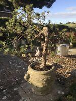 Bonsai Tree Scots Pine ( Large )