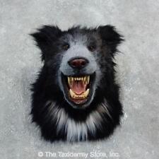 #18298 E | Reproduction Sloth Bear Shoulder Taxidermy Head Mount - Lion Safari