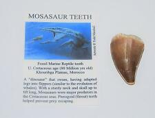 Mosasaur Dinosaur Tooth Fossil 1 1/2 to 1 3/4 inch Size Large w/COA #1843 4o