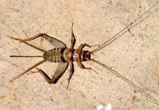 "500 Medium (1/2"") Live Crickets - Free Shipping"