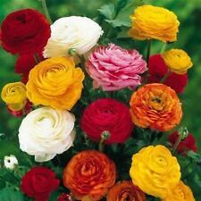 20 PCS Mix Asiaticus Persian Buttercup Ranunculus Flowers Seeds Light Fragrant