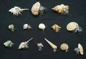 Strandgefühl: Einsiedlerkrebs aus Glas in echter Muschel bzw Schnecke div Sorten