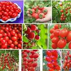 *UNCLE CHAN* 50 SEEDS HEIRLOOM TOMATO POT CHERRY RED ORGANIC VEGETABLE