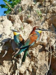 BEE EATERS WALL MOUNT taxidermy