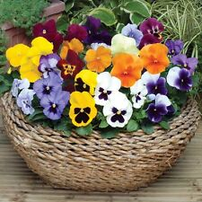 0.2g (~ 200) mixed color large pansy seeds SWISS GIANTS REGULAR abudant blooms