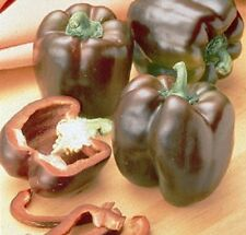 200 Seeds Chocolate Beauty Sweet Pepper Seeds
