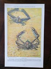1928 vintage Original magazine illustration Spider Crabs