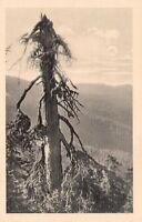 AK Ansichtskarte Alter Wetterbaum am westl. Arberhang - 1920er