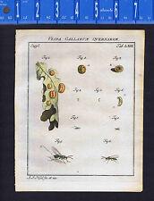 Vespa Gallarum Quernarum -Roesel/Rosel Insecten 1760 Print